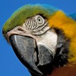 Portrait of a macaw parrot — Stock Photo