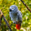 Stock Photo: Grey parrot
