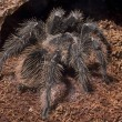 Bird eating Spider - Tarantula — Stock Photo