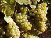 Mellow whie grapes — Stock Photo