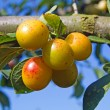 Stock Photo: Mellow mirabelles