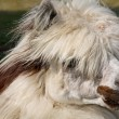 Stock Photo: White-brown lama