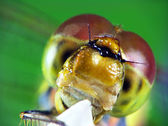 Portrait of dragonfly (Odonata) — Foto Stock