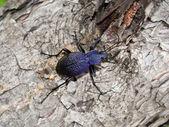 Beetle carabus — Stock fotografie