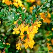 Royalty-Free Stock Photo: Berberis vulgaris