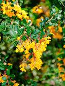 Berberis vulgaris — Stock Photo