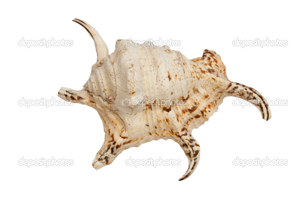 Exotic seashell isolated on the white background  Stock Photo #3601670