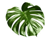 Glossy monstera leaf — Stock Photo