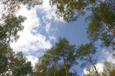 Stand of aspen trees looking up — Stock Photo