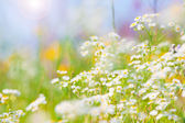 Wild flowers with bright blue sky — Stock Photo