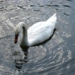 White swan — Stock Photo #2945655