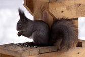 Squirrel eats seeds — Stock Photo