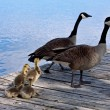 Stock Photo: Family of gooses