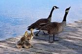Family of gooses — Stock Photo