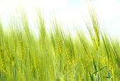 Biologische groene lente korrels — Stockfoto