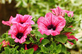 Petunia Surfinia Pink Vein — Stock Photo