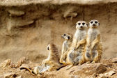 Suricata suricatta — Stock Photo