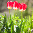 Royalty-Free Stock Photo: Three Tulips