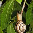 Tiny Snail — Stock Photo