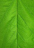 Leaf surface XXL — Stock Photo