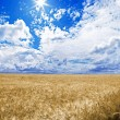Постер, плакат: A golden wheat field under an blue sky with the sun in zenith
