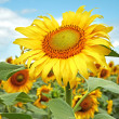 Yellow sunflowers and blue sky. XXL — Stock Photo