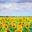 Field of sunflowers and cloudy blue sky at background. XXL — Stock Photo