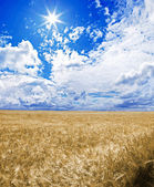 A golden wheat field under an blue sky with the sun in zenith — Stock Photo