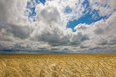 Golden wheat field under an cloudy sky. High Quality XXL! — Stock Photo