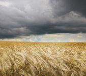 Golden wheat field under an dark cloudy sky. High Quality XXL! — Stock Photo