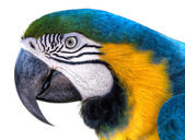 Blue-green-yellow Macaw - Ara parrot — Stock Photo