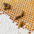Foto de Stock  : Macro of working bee on honey cells