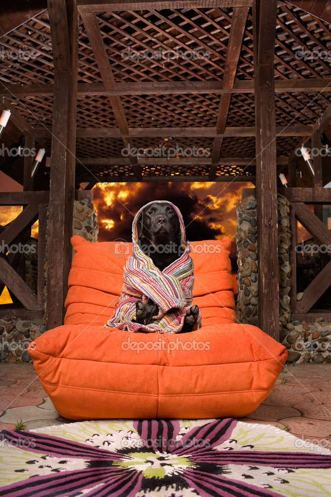 Close up of black Labrador dog wrapped in towel sitting in luxurious orange chair, fire effect background. — Stock Photo #3041919