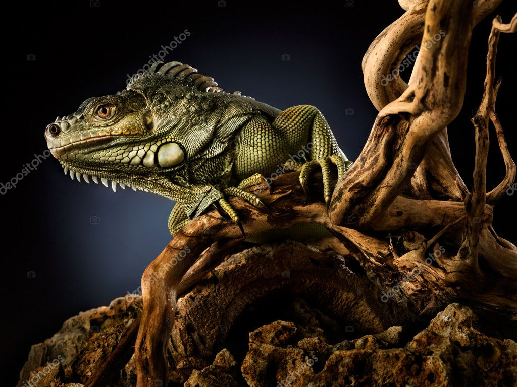 A green iguana on a tree branch. — Stock Photo #3849706