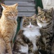 Stock Photo: Cats trio
