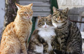 The cats trio — Stock Photo