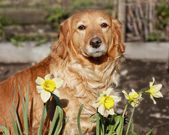 House Dog in spring flowers — Stock Photo