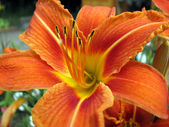 The orange lily — Stock Photo