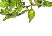 Gooseberry branch — Stock Photo