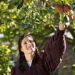 Picking apples - Stock Photo