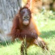 Stock Photo: Young orang utan