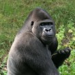 Silverback gorilla - Stock Photo