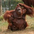 Mother orang utan with two babies - Stock Photo
