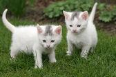 Two white kittens — Stock Photo