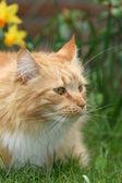 长发猫 — 图库照片