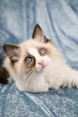 Ragdoll gatito — Foto de Stock