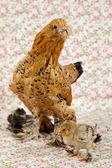 Baby chickens — Stock Photo