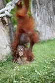 Two baby orang utans — Stock Photo