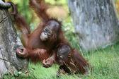 Playful young monkeys — Stock Photo