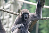 Woolly monkey — Stockfoto